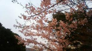 20140309_sakura